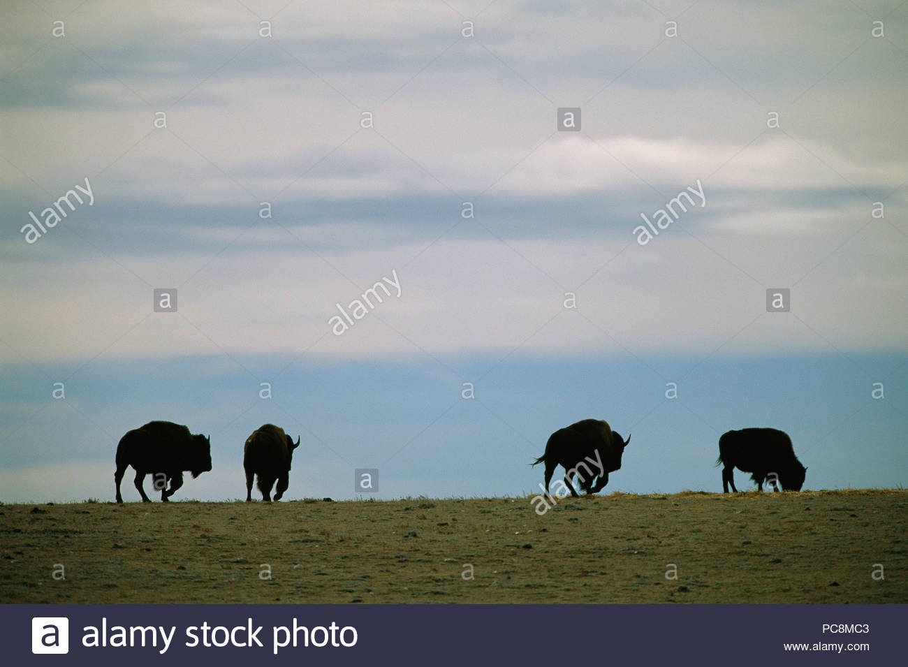 Bison graze on the prairie at Twin Pine Ranch. - Stock Image