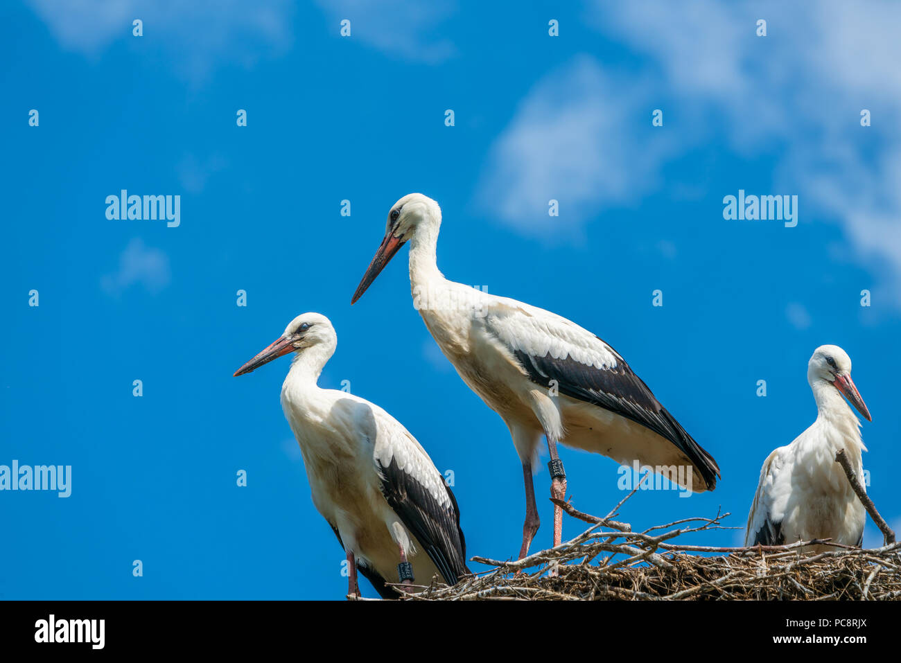 A white stork family (Ciconia ciconia) - three storks standing in a nest in Polish countryside - Stock Image