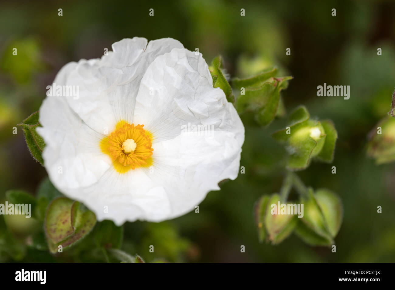 Close up  of a white Cistus x obtusifolius 'Thrive' / Rock Rose flowering in a Wiltshire garden - Stock Image