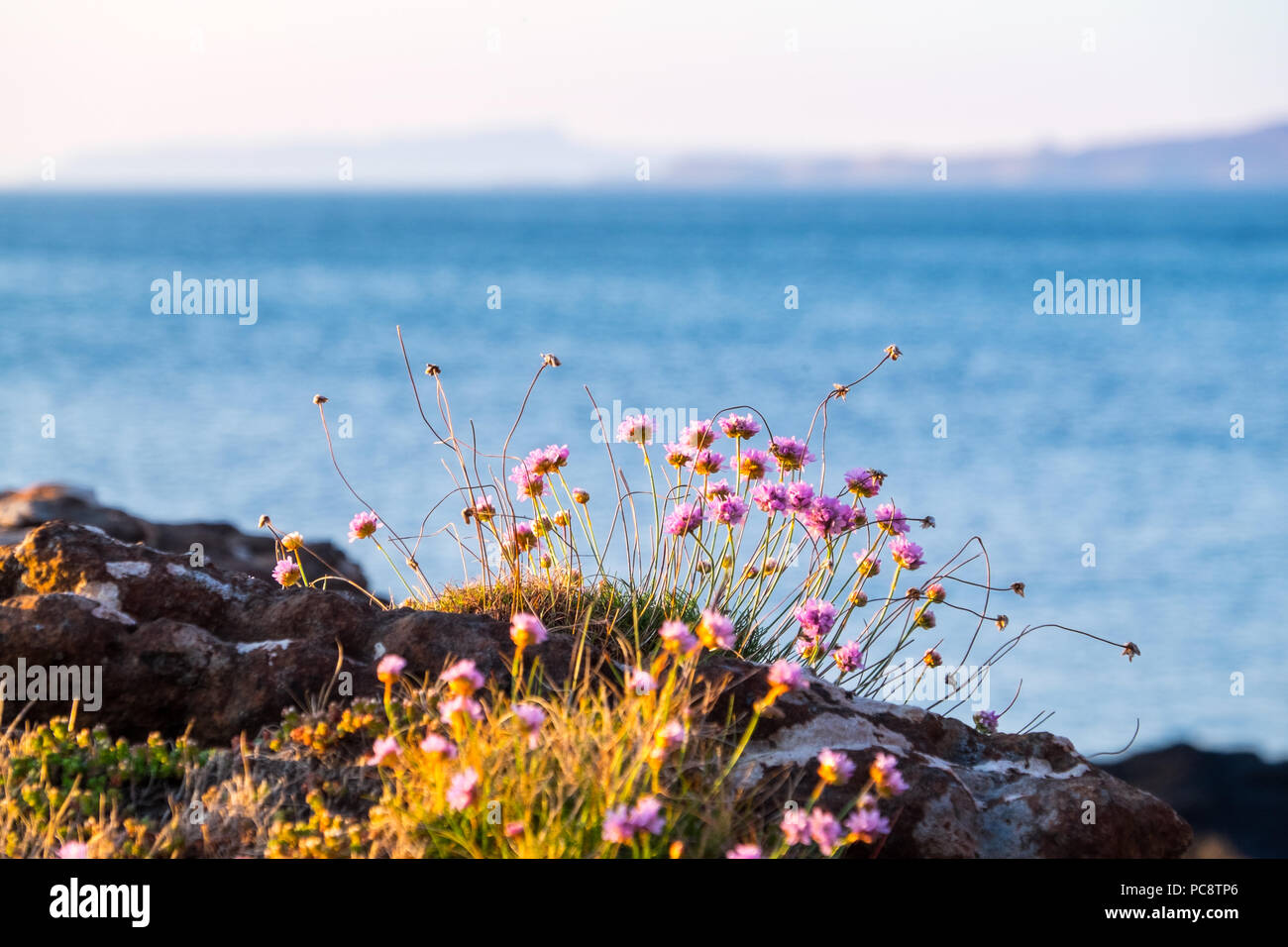 Sea Pink / Thrift / Sea Thrift on the west coast of Scotland - Stock Image