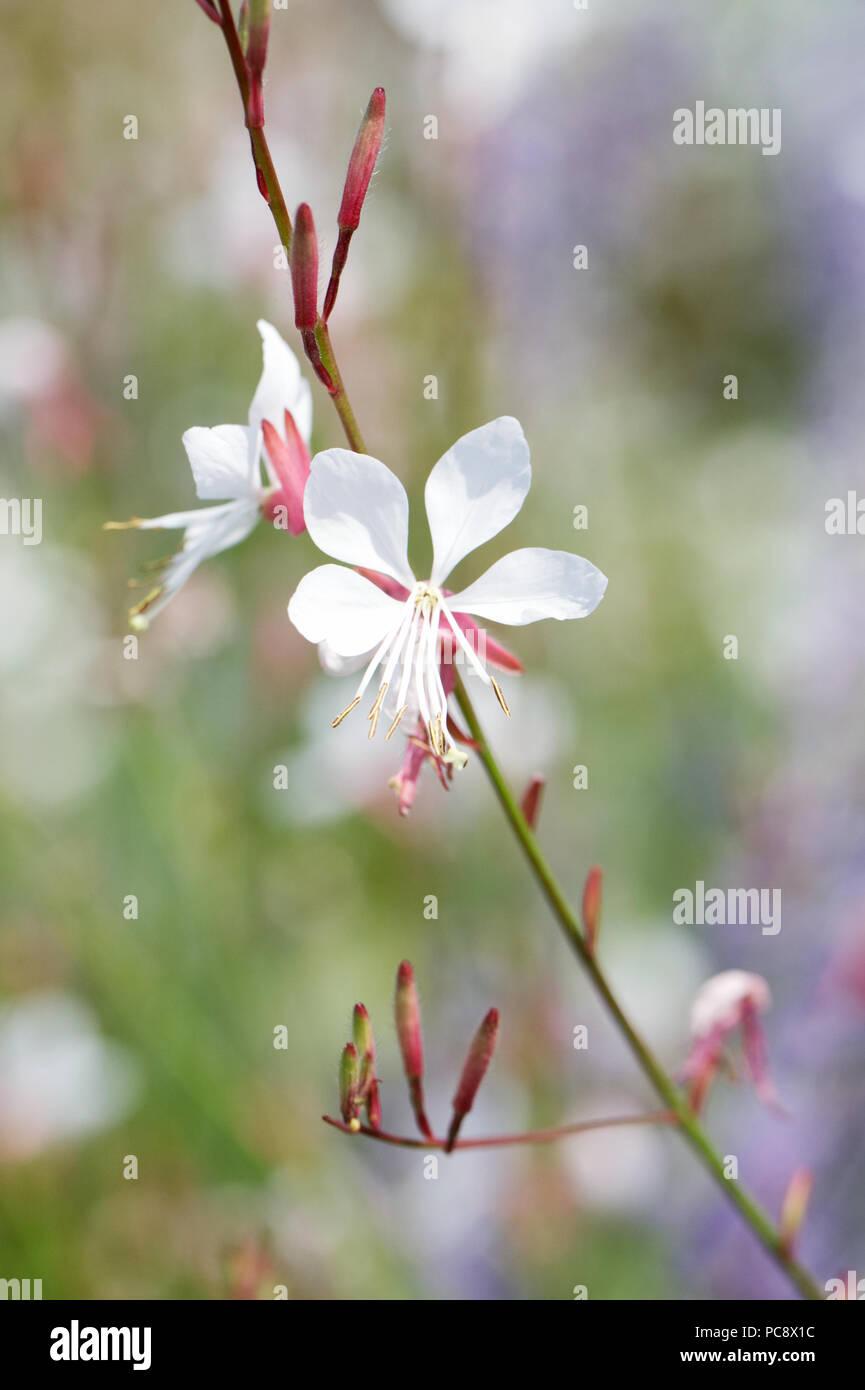 Gaura lindheimeri 'Whirling Butterflies' flowers. - Stock Image