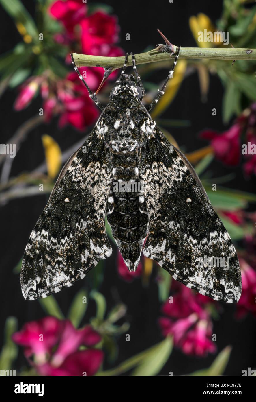 Rustic Sphinx Moth Newly Emerged & Pumping Up Wings Manduca rustica rustica dorsal - Stock Image