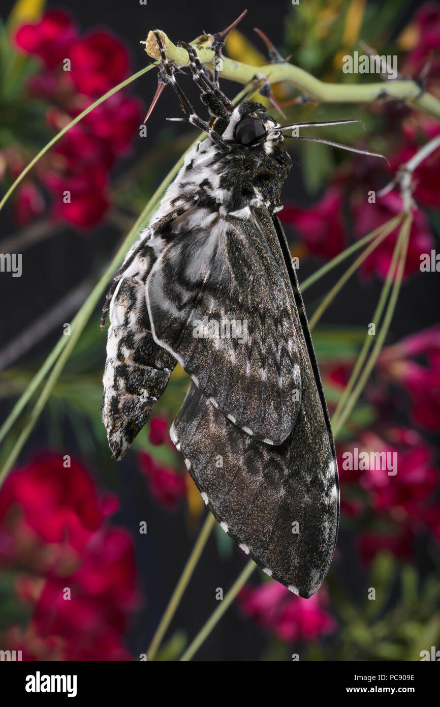 Rustic Sphinx Moth Newly Emerged & Pumping Up Wings Manduca rustica rustica dorsal - Stock Image