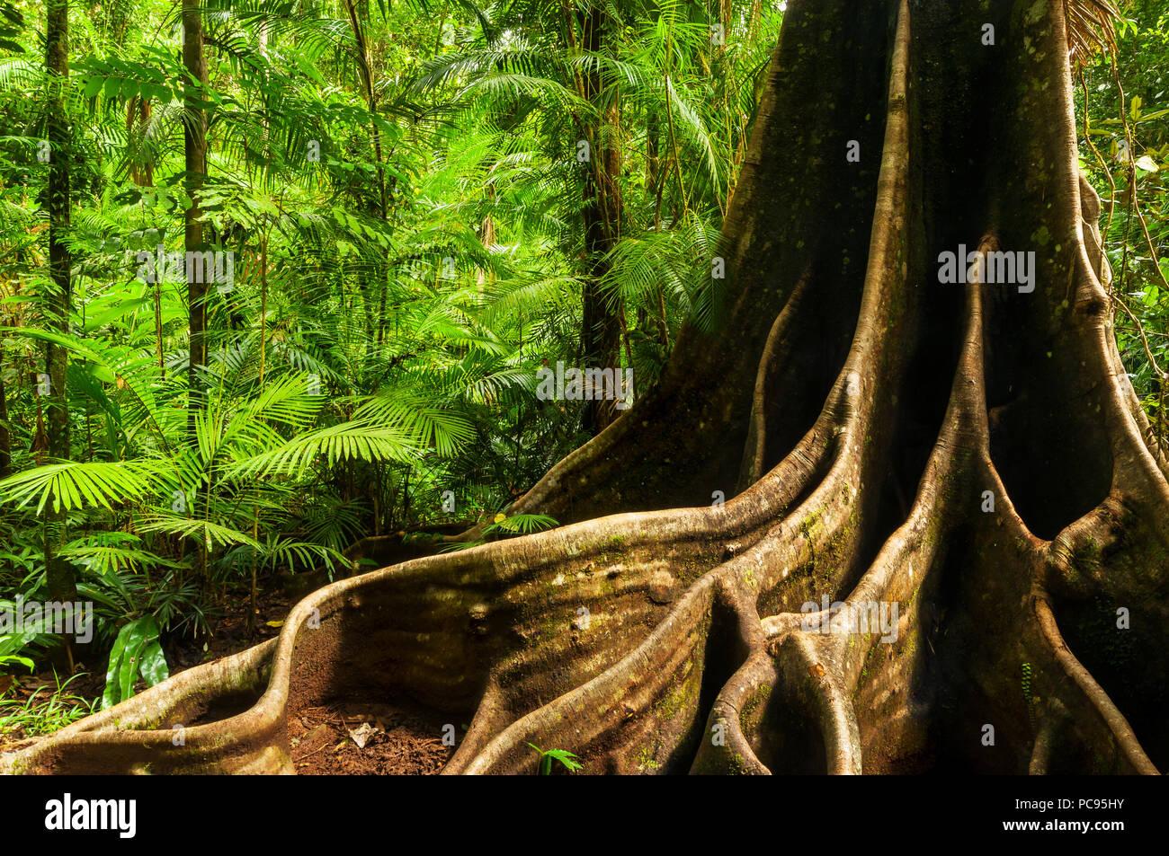 Ancient rainforest giant in the Wet Tropics of Queensland. - Stock Image