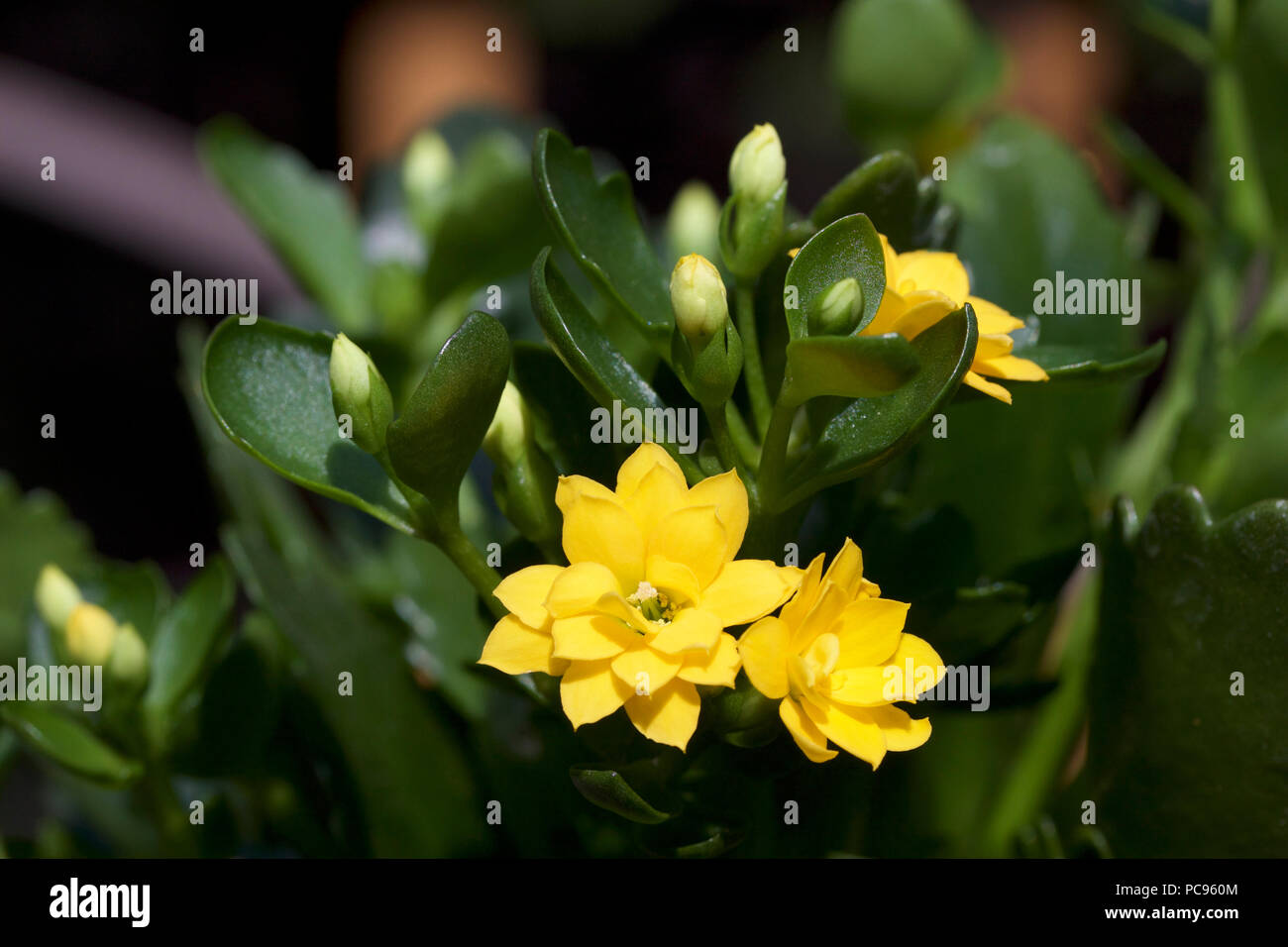 Small Succulent Plant Yellow Flowers Stock Photos Small Succulent