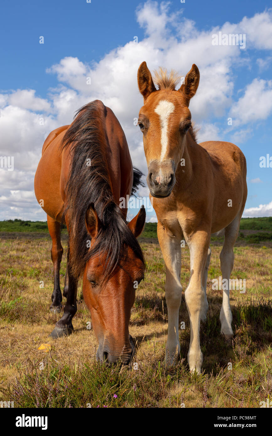 Tan coloured mother pony and foal in the New Forest on a sunny day in summer, Hampshire, UK - Stock Image