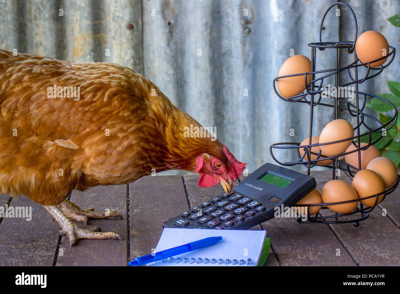 Real rescued former battery hen calculating egg production, accounts, small business and tax - Stock Image