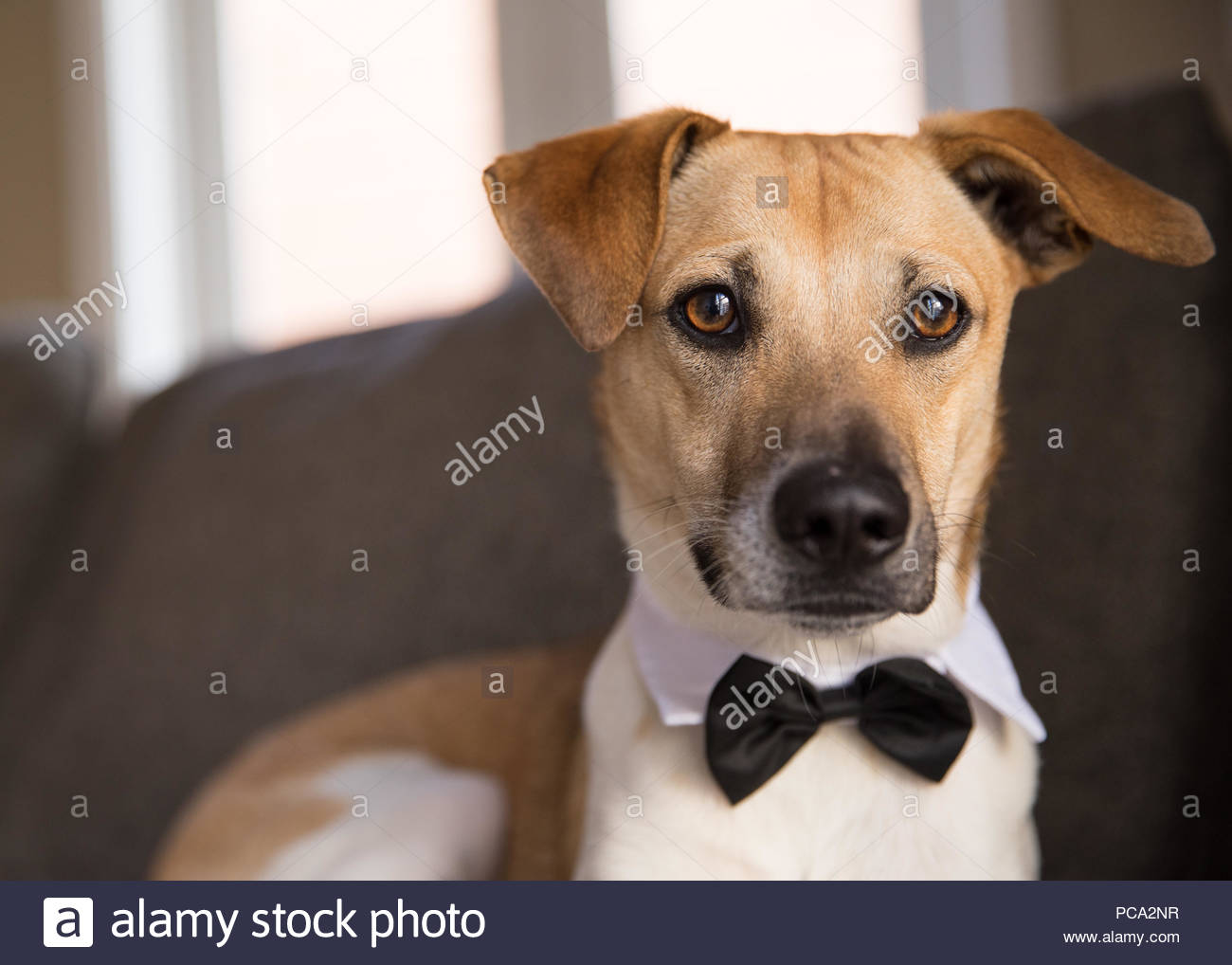 Close-up of Brown dog with brown eyes and one ear raised looking at viewer and wearing a bowtie - Stock Image