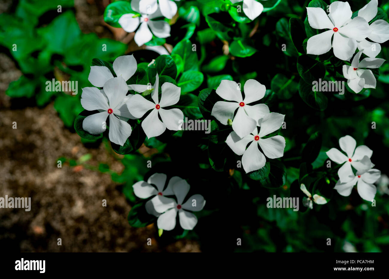 Catharanthus roseus west indian periwinkle madagascar periwinkle catharanthus roseus west indian periwinkle madagascar periwinkle beautiful white flower with pink at center green leaves on black background gree mightylinksfo