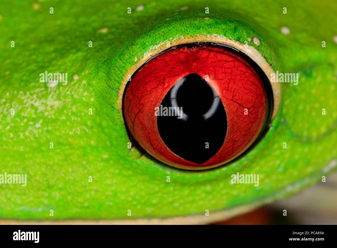red-eyed treefrog (Agalychnis callidryas), eye detail Stock Photo