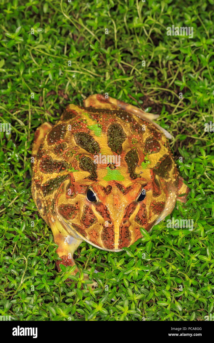 Horned frog in leaves. - Stock Image