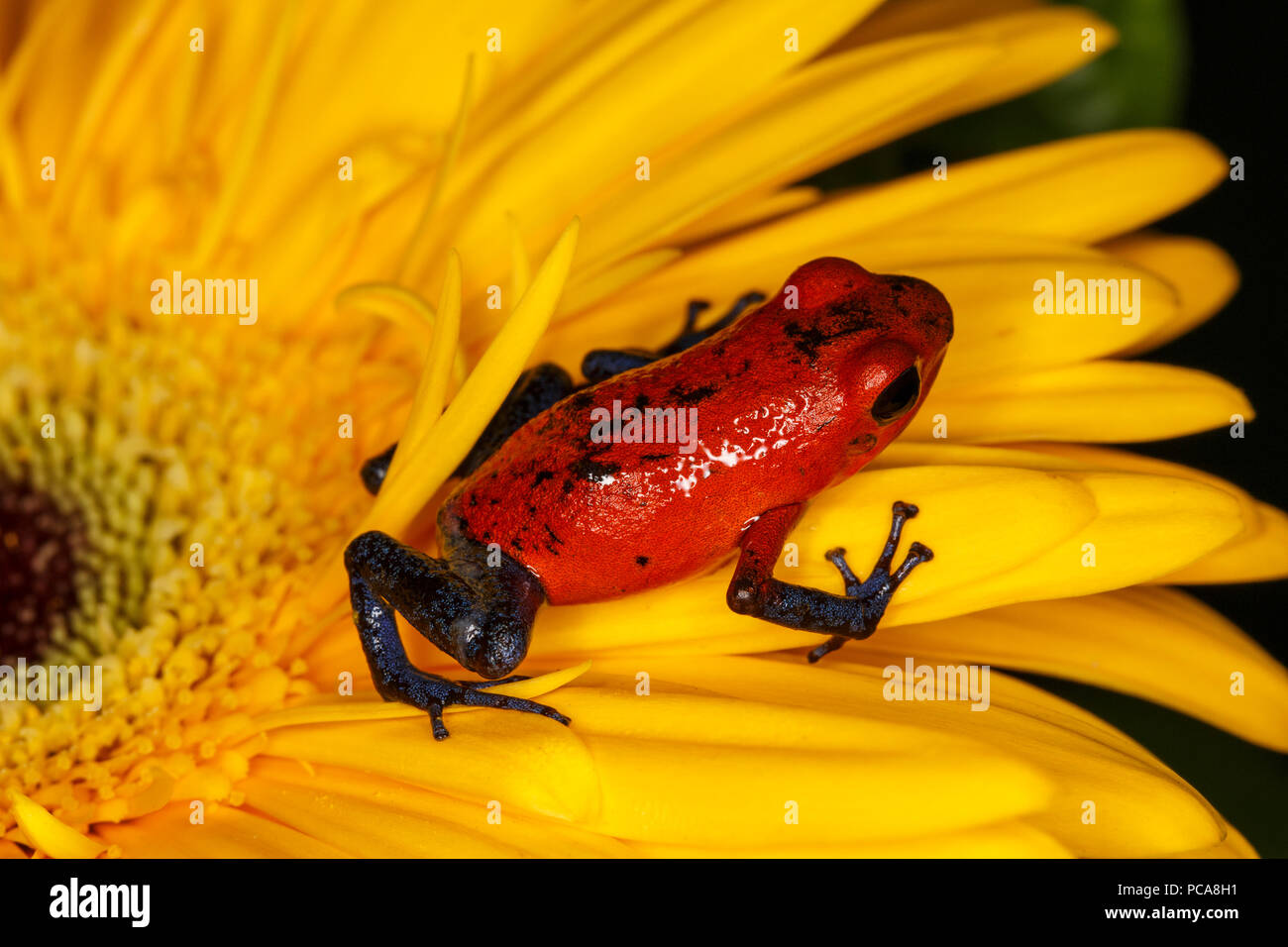 Nicaragua blue jean dart frog or Pumilio dart frog (Oophaga pumilio) - Stock Image