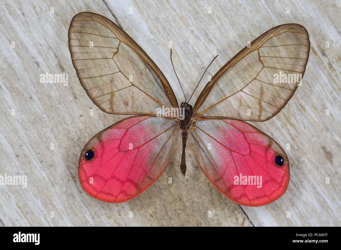 Rosey Posey (Cithaerias aurorina), butterfly, male - Stock Image