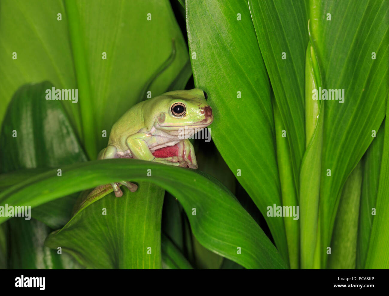Australian dumpy tree frog or White's tree frog (Litoria caerulea) - Stock Image
