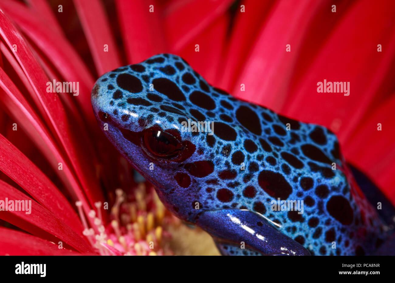 Blue azureus tinctorius dart frog (Dendrobates tinctorius) on a flower. - Stock Image