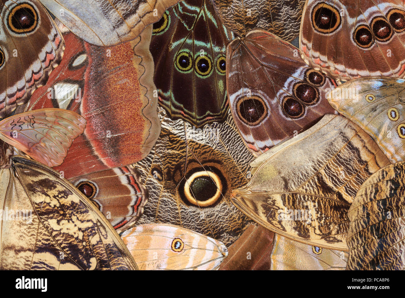 Assorted butterfly and moth wings arranged on a table. - Stock Image