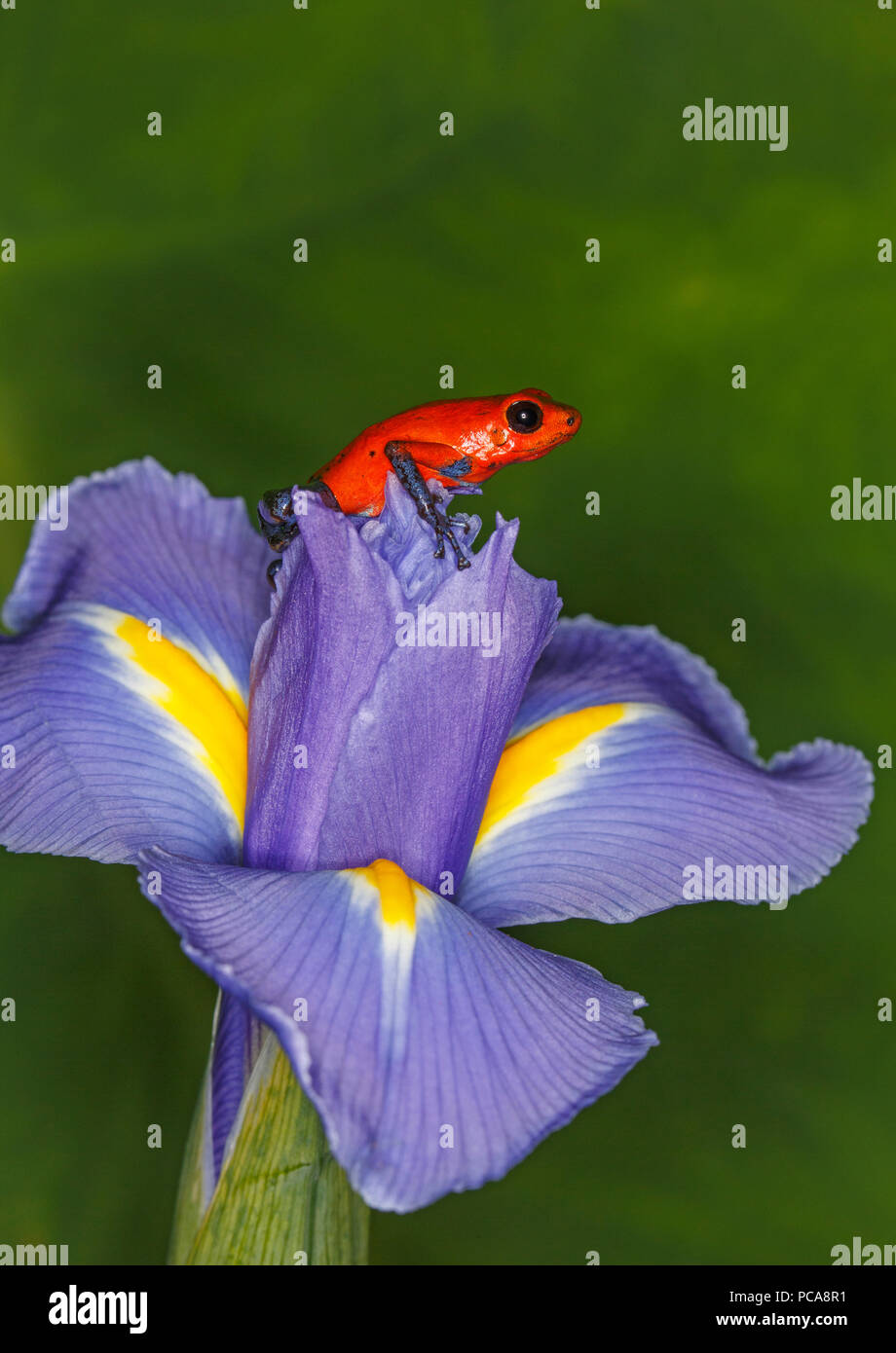 Nicaragua blue jean dart frog or Pumilio dart frog (Oophaga pumilio) on an iris - Stock Image