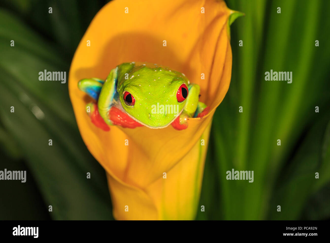 Red-eyed tree frog (Agalychnis callidryas) on orange calla lily Stock Photo