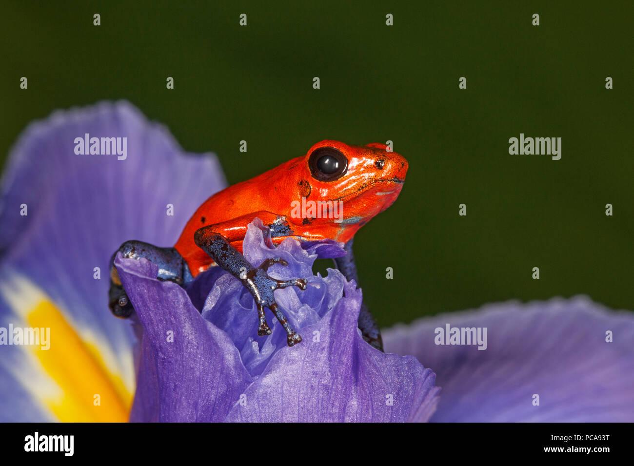 Nicaragua blue jean dart frog or Pumilio dart frog (Oophaga pumilio) on an iris - Stock Image
