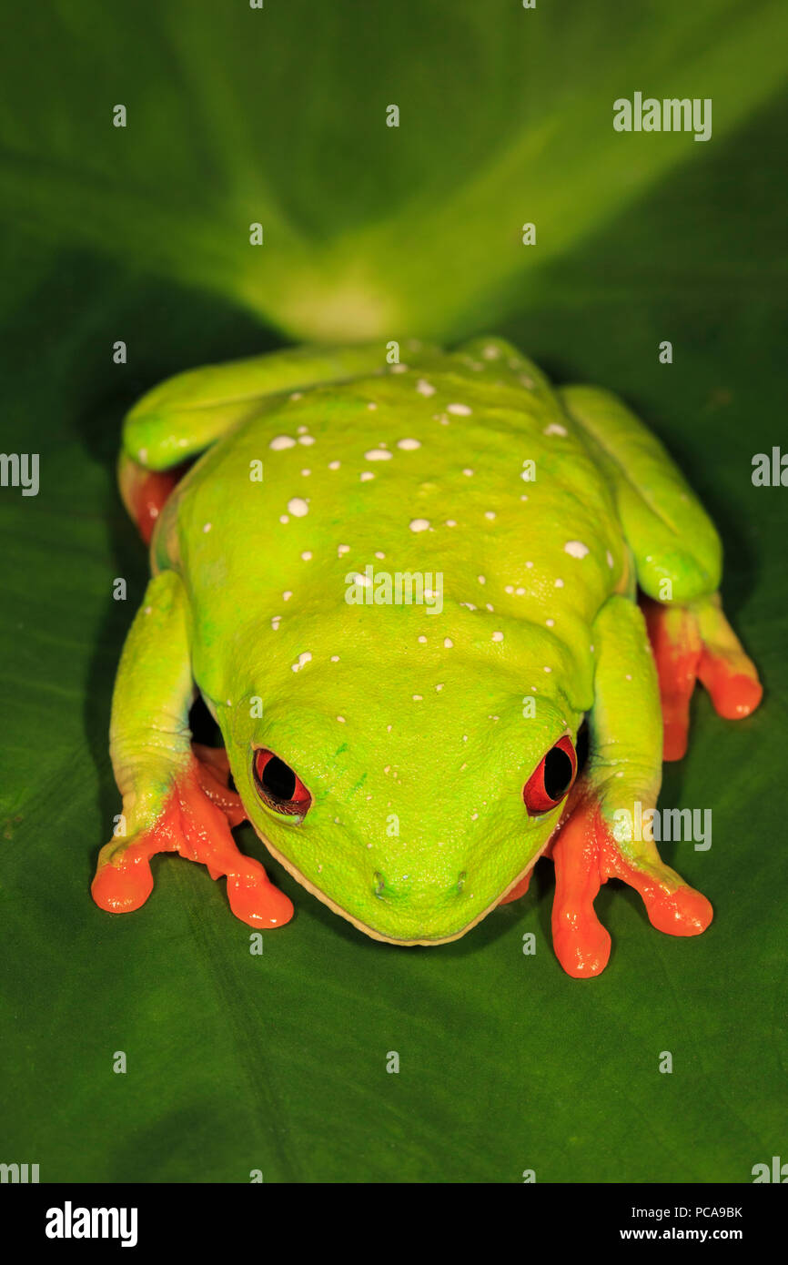 Red-eyed tree frog (Agalychnis callidryas) - Stock Image