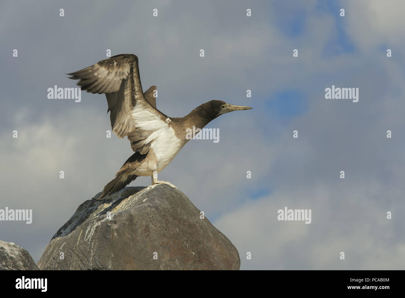 Blue-footed Booby - Stock Image