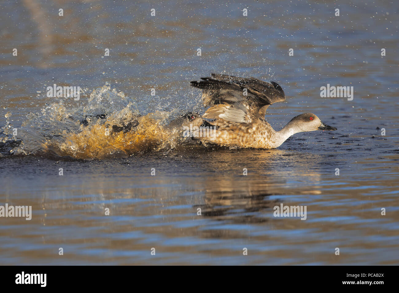 Fighting crested ducks - Stock Image