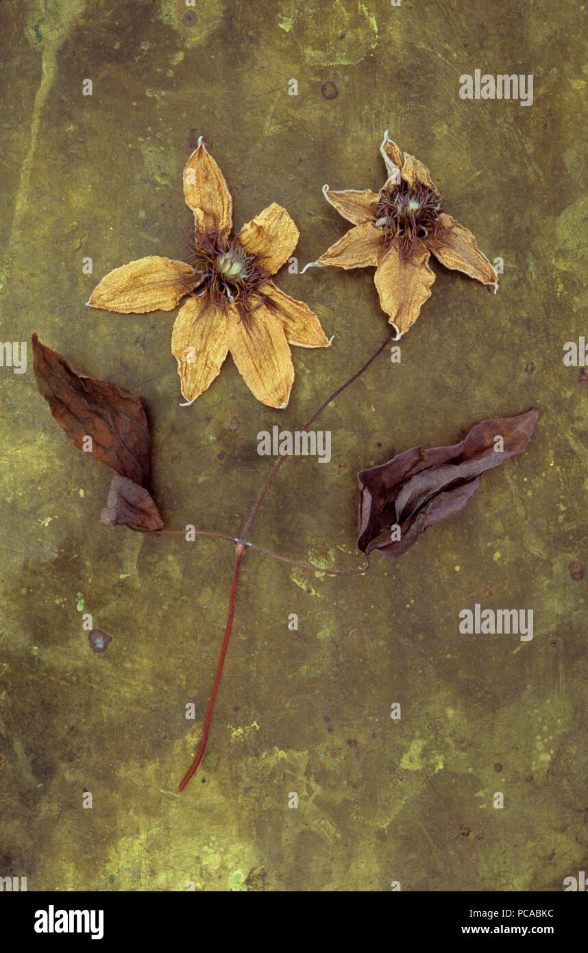 Two dried and colourless flowerheads of Clematis Hagley hybrid lying with stalk and brown leaves on tarnished brass - Stock Image