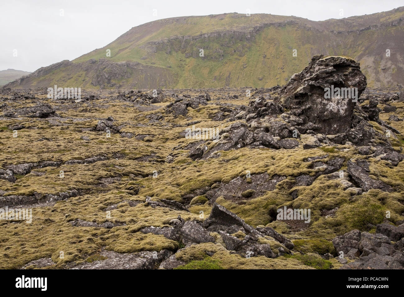vegetation growing in volcanic lunar landscape, Iceland - Stock Image