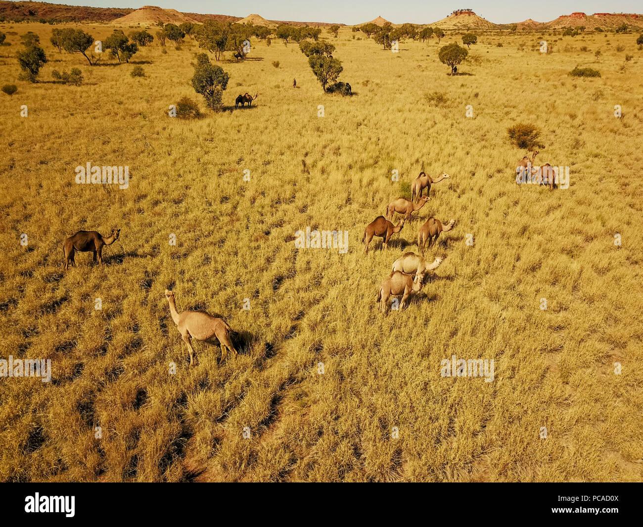 Camels in the Australian desert, near Laverton, Western Australia - Stock Image