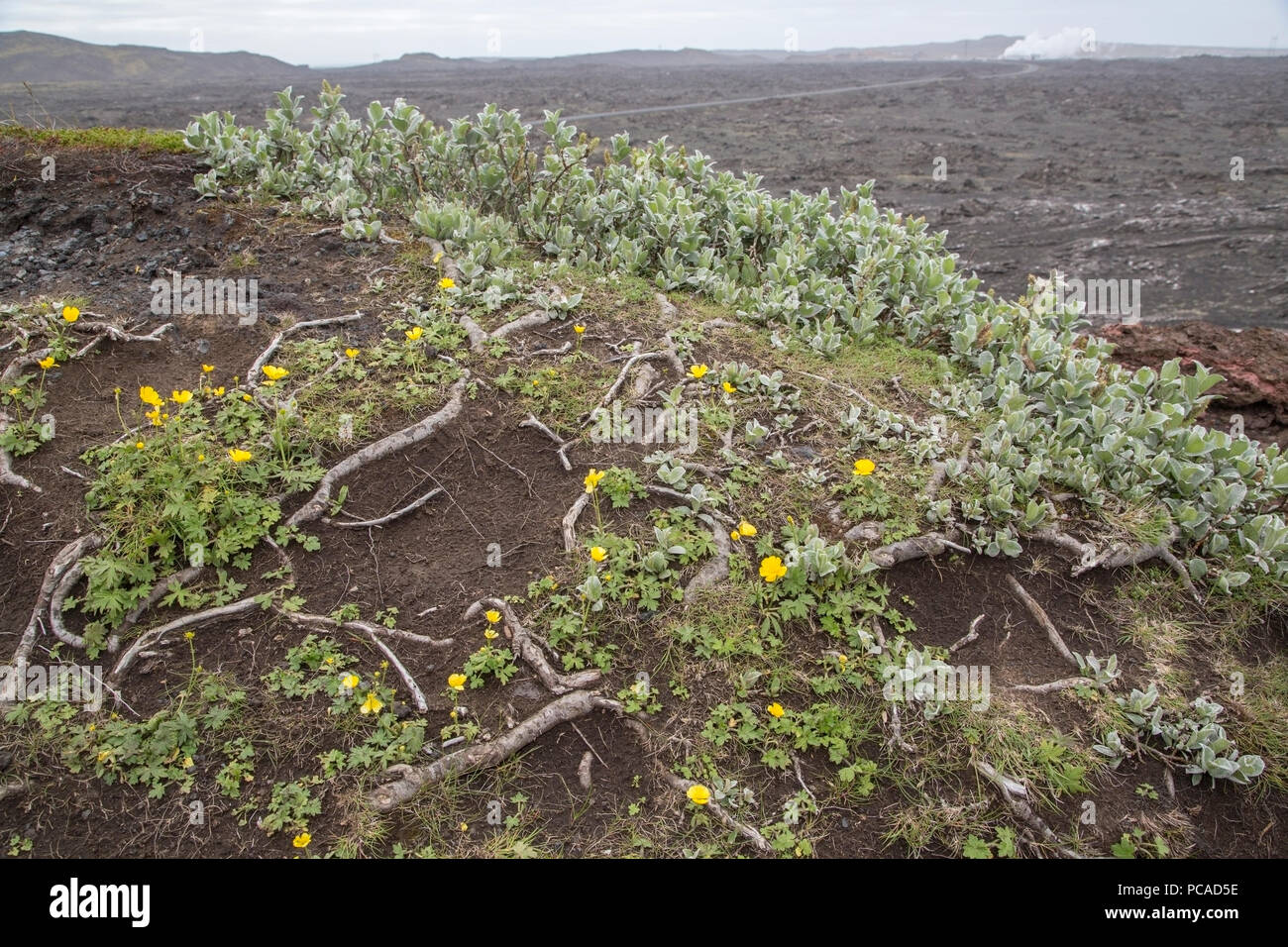 polar willow Salix polaris growing on barren volcanic landscape, Iceland - Stock Image