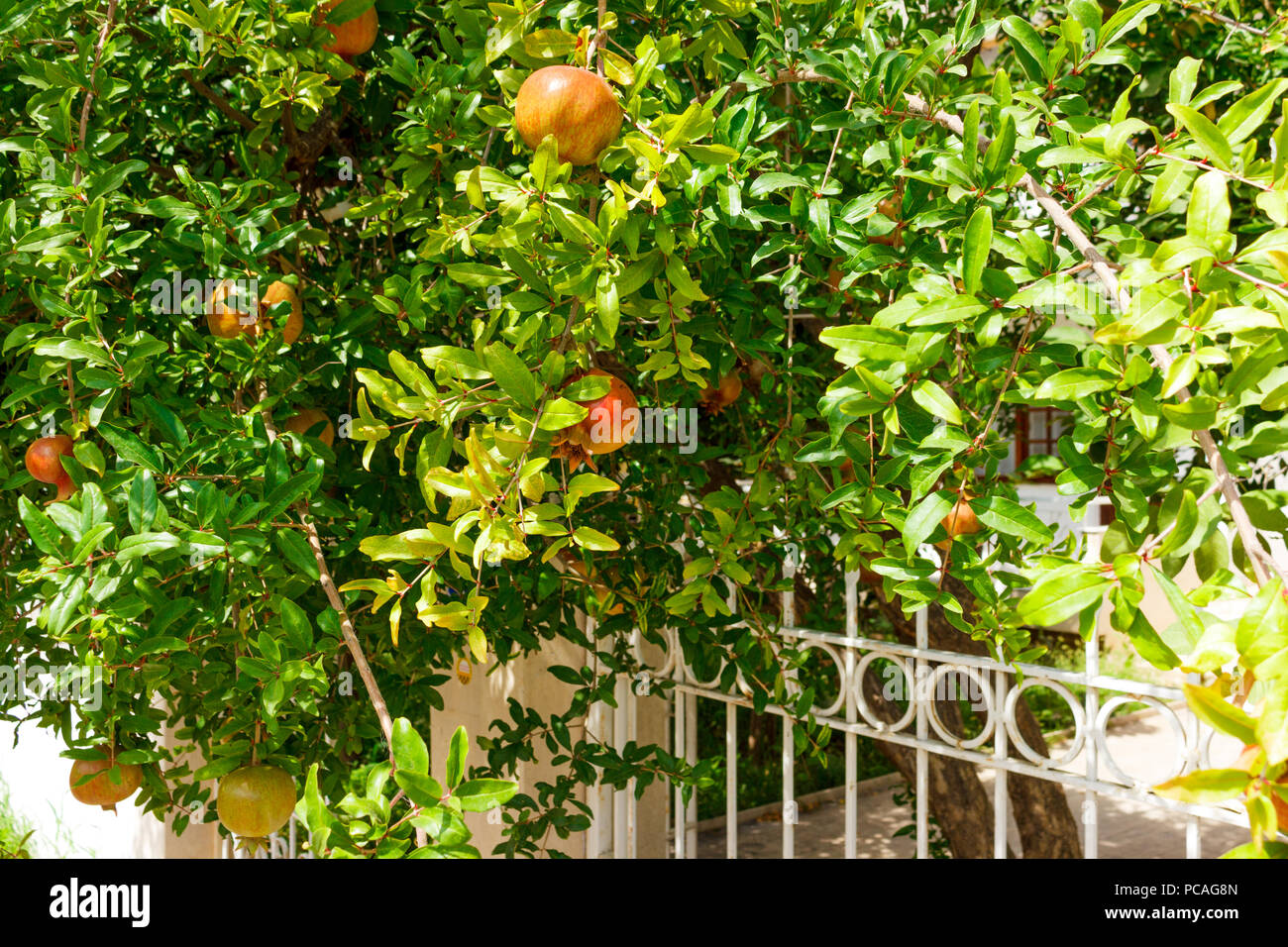 Green young pomegranate growing on the tree brunch in garden. - Stock Image