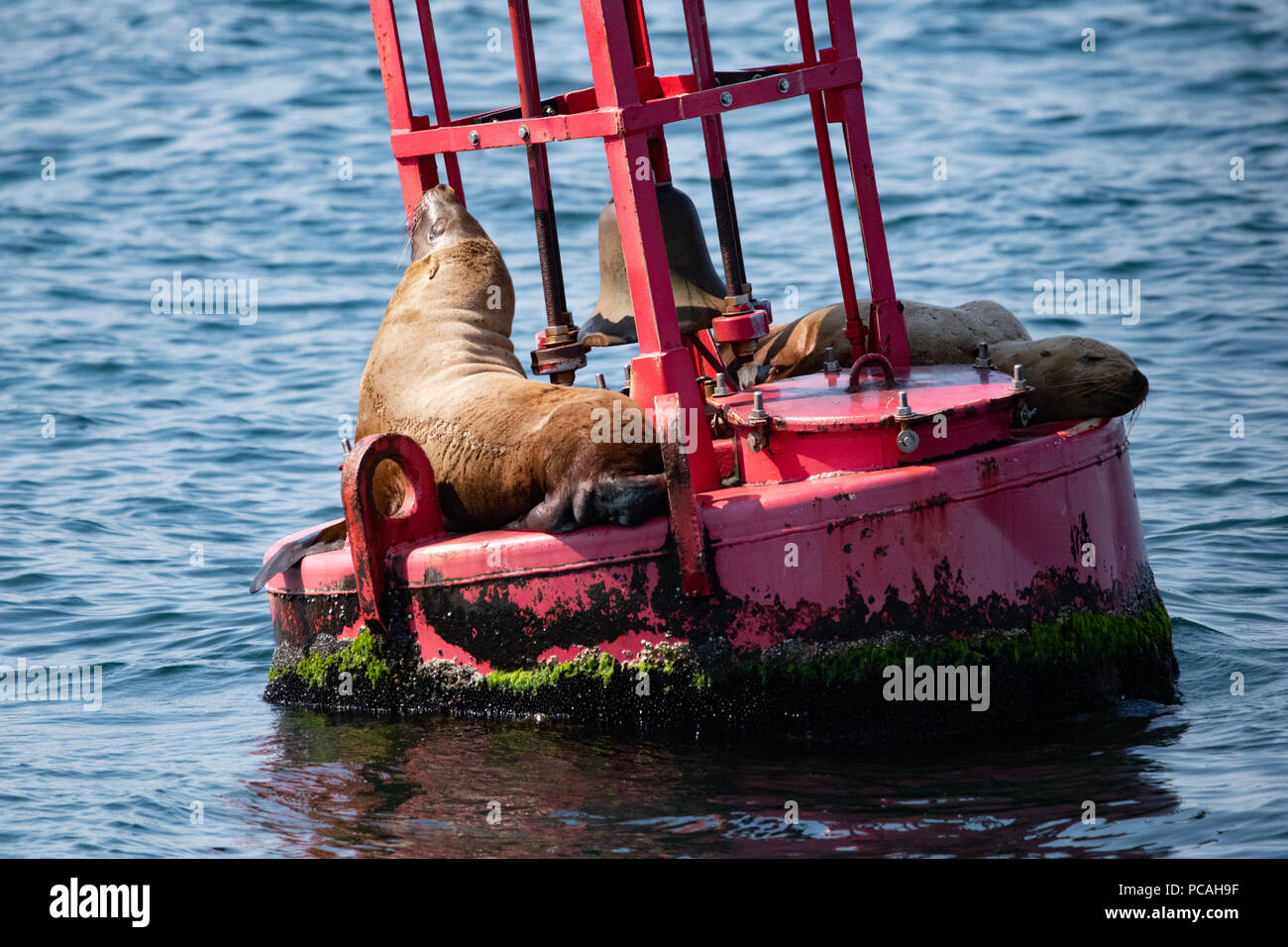 Sea Lions resting on a buoy - Stock Image
