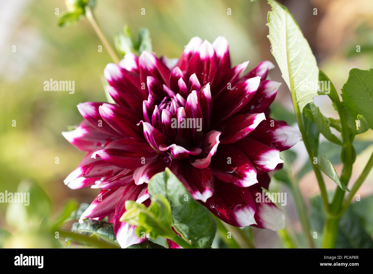 'Duet' Formal Decorative Dahlia, Dekorativdahlia (Dahlia x pinnata) - Stock Image