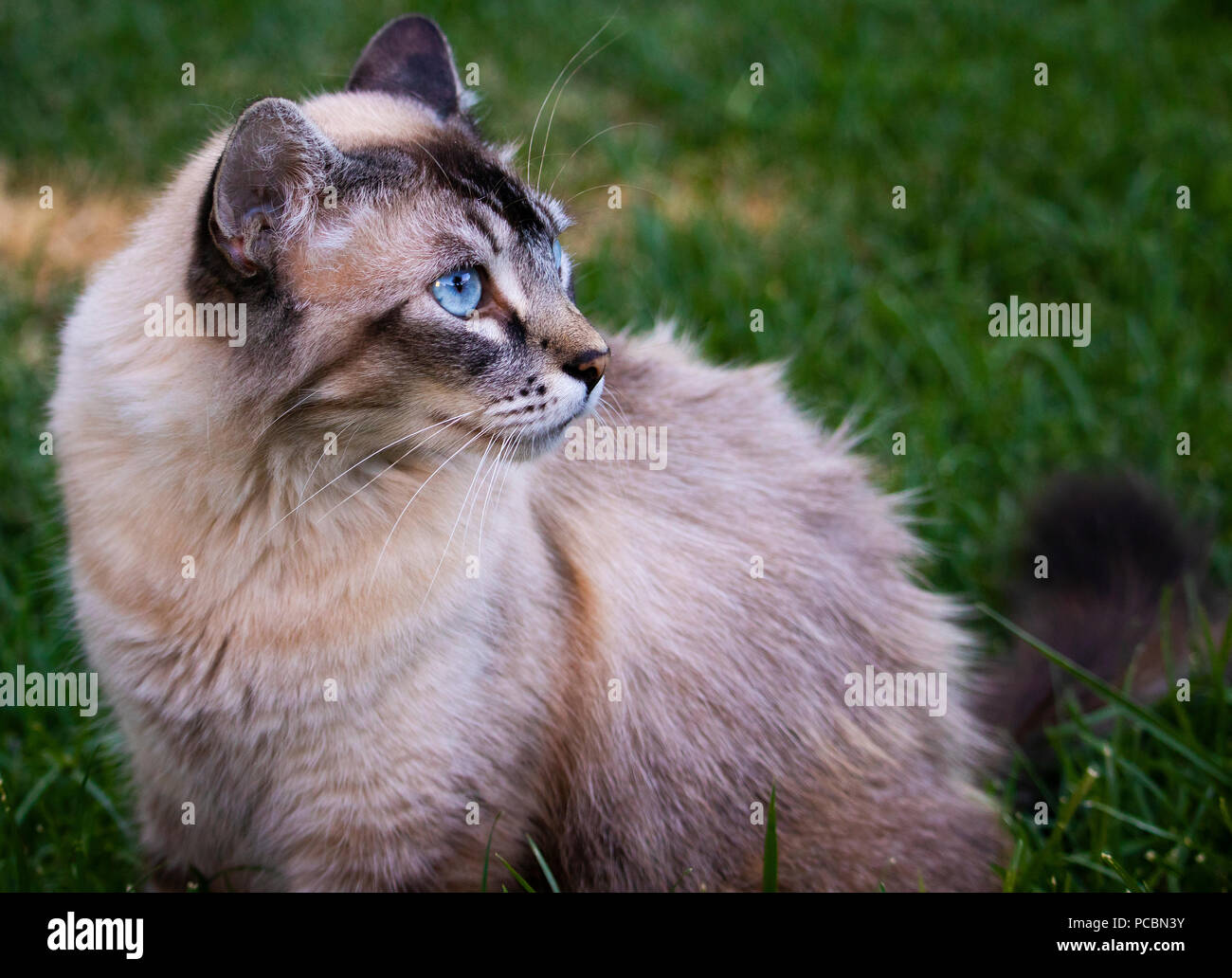 Curious Cat Looking in the Distance - Stock Image