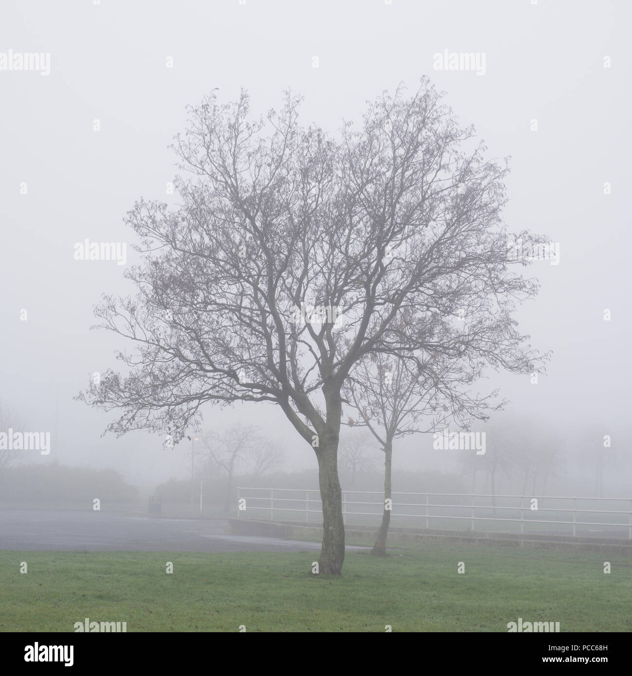 Two Trees in park fog and mist in wilderness woodlands - Stock Image