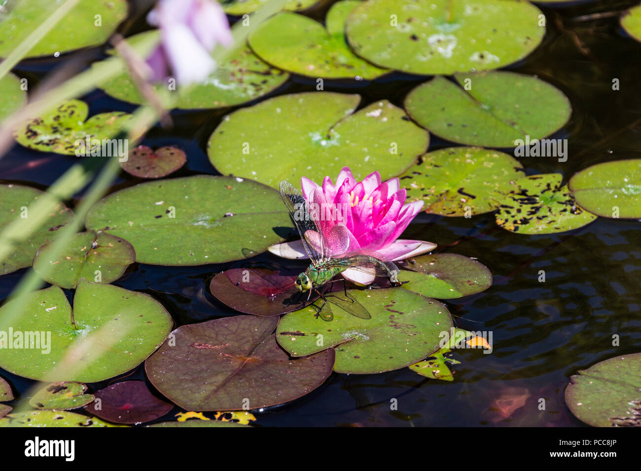 Lily pad dragonfly stock photos lily pad dragonfly stock images a female emperor dragonfly anax imperator on a lily pad in a large pond izmirmasajfo
