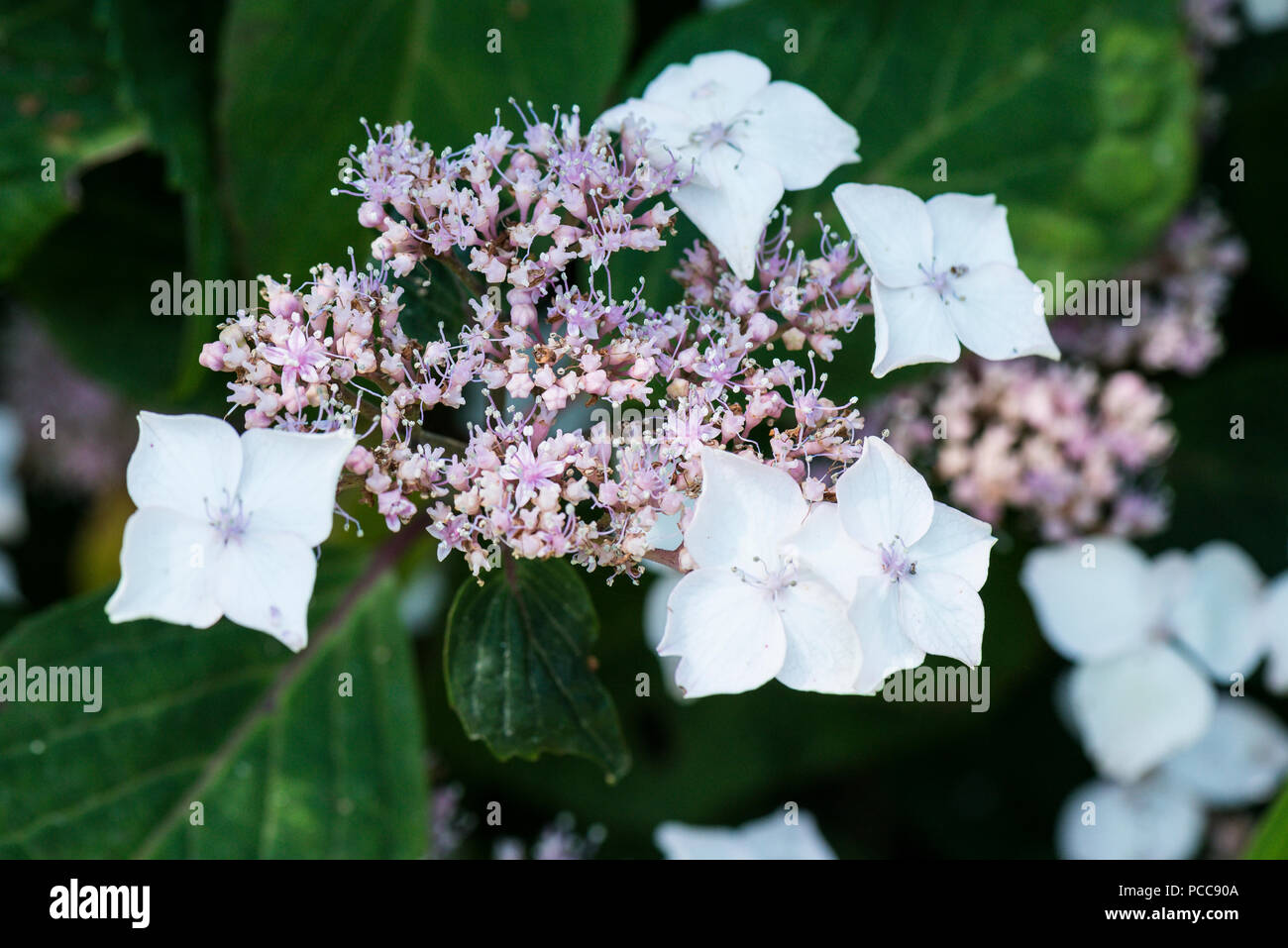 A close up of the flowers of a mountain hydrangea (Hydrangea serrata) Stock Photo