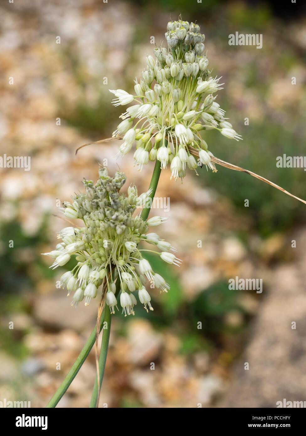 White, late summer flowers of the hardy ornamental onion, Allium carinatum ssp. pulchellum f. album - Stock Image