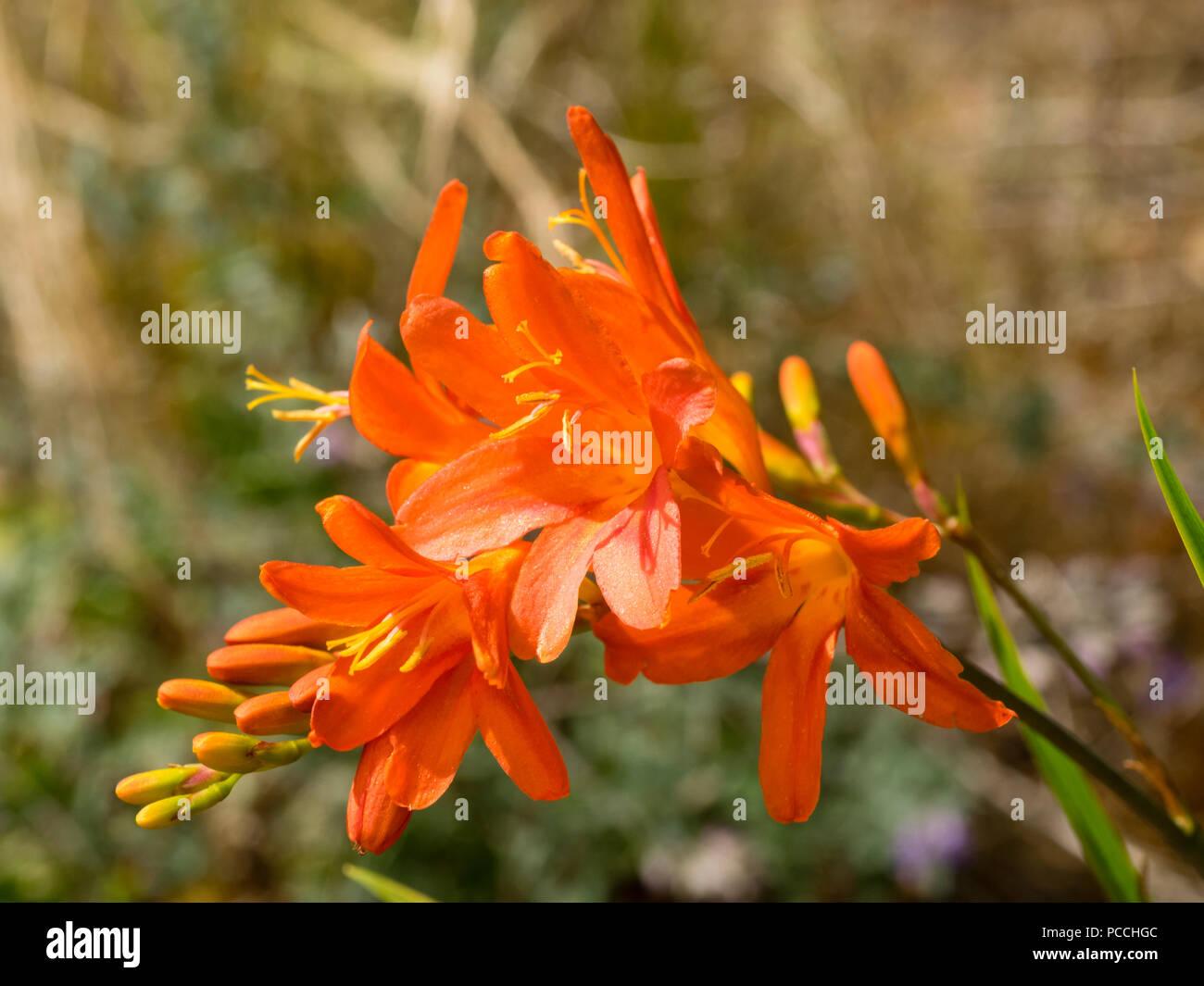 Yellow throated orange shading to salmon flowers of the hardy, later summer flowering perennial, Crocosmia 'Severn Sunrise' - Stock Image