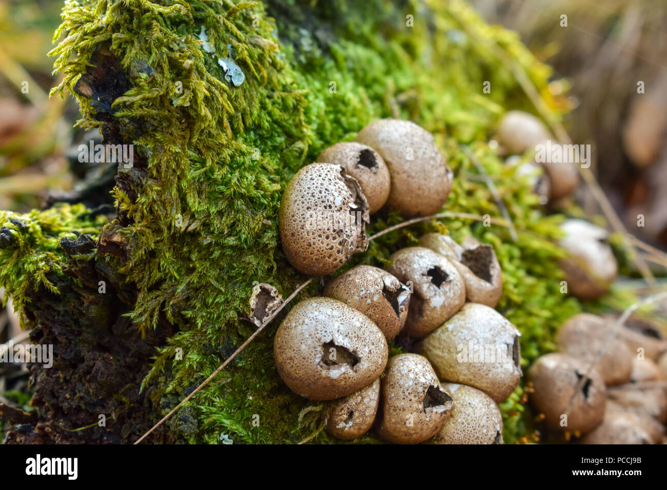 Lycoperdon perlatum, popularly known as the common puffball, warted puffball,  is a species of puffball fungus in the family Agaricaceae. - Stock Image