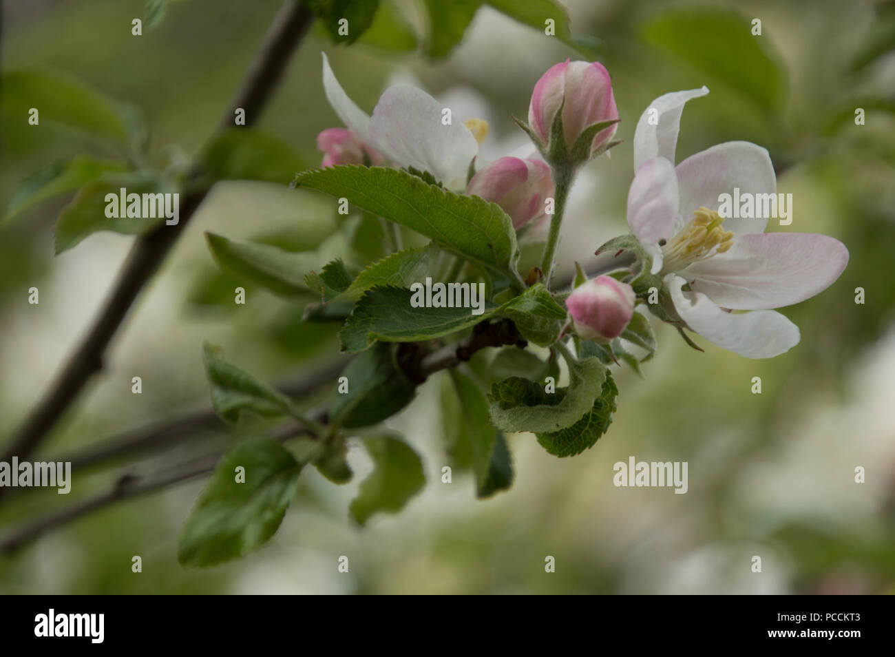 Closeup Of Spring Apple Blossom On Trees Pink And White Open