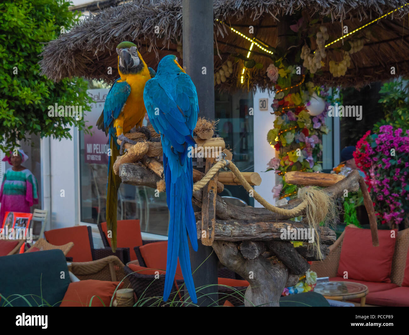 Parrots, Tutti and Frutti. kalypso cocktail bar, Cala d'Or, Majorca - Stock Image