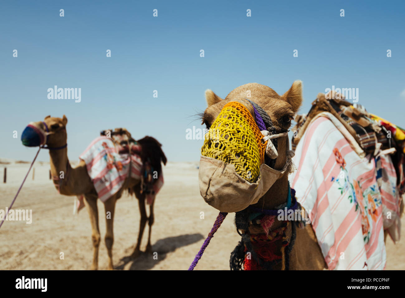 Camels, wearing knitted muzzles to prevent biting or chewing, wait on the Mesaieed desert, also known as Dukhan Heights, Al-Rayyan Municipality, Qatar Stock Photo