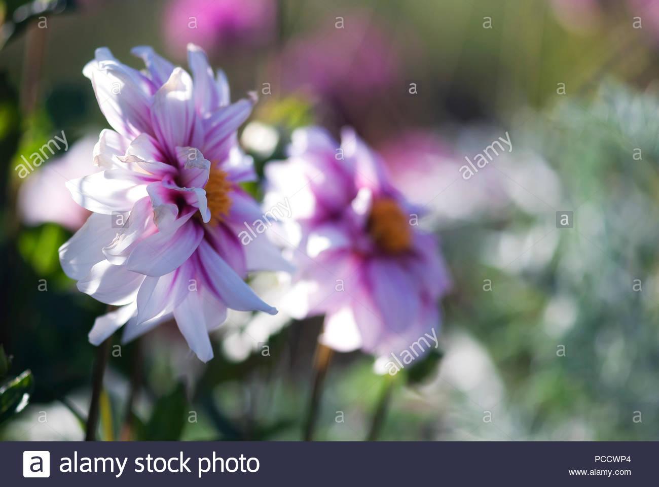 Delicate purple dahlia flowers bloom in summertime stock photo delicate purple dahlia flowers bloom in summertime izmirmasajfo