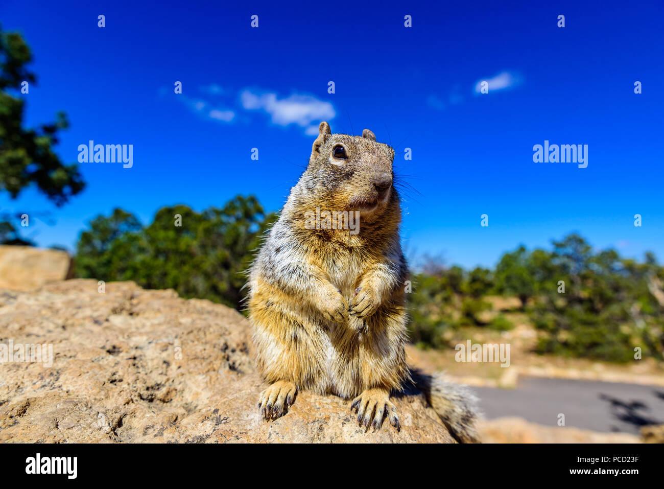Kaibab squirrel at the Grand Canyon, in northern Arizona, USA - Stock Image