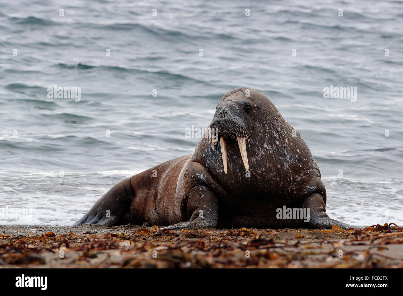 Walrus in Svalbard - Stock Image