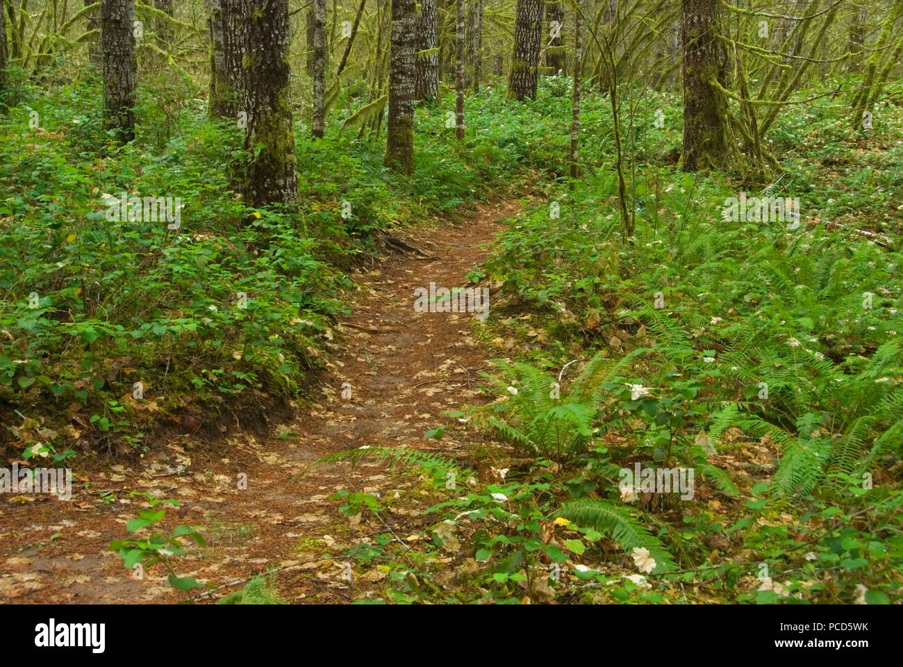 Gales Creek Trail, Tillamook State Forest, Oregon - Stock Image