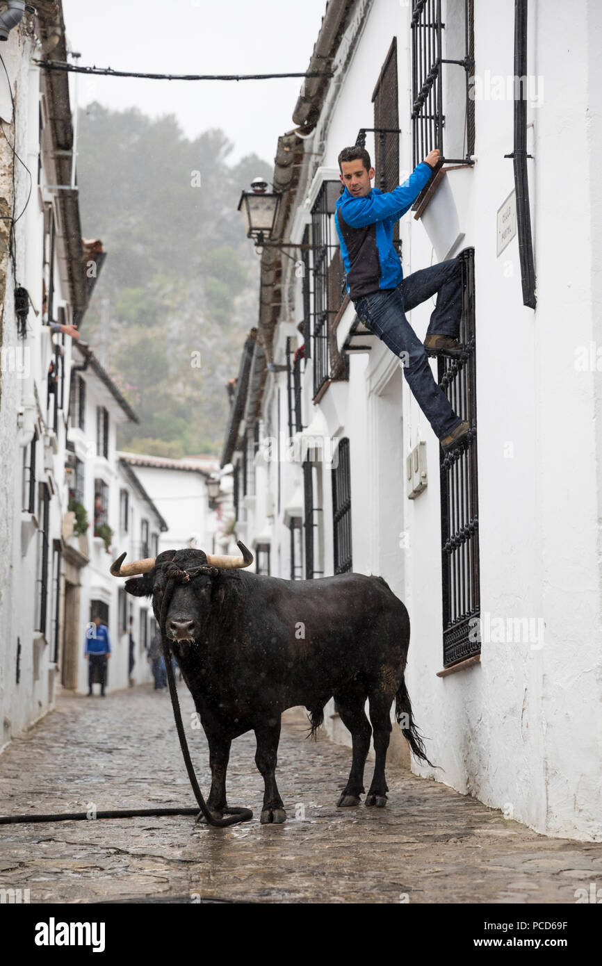 Running with the Bull festival with bull on rope and man climbing to safety, Grazalema, Andalucia, Spain, Europe - Stock Image