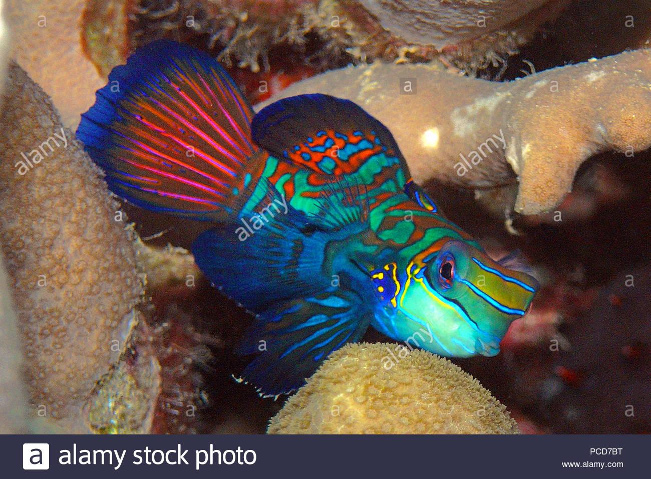 Mandarin-Leierfisch (Synchiropus splendidus), Yap, Mikronesien | Mandarinfish or mandarin dragonet (Synchiropus splendidus), Yap islands Micronesia - Stock Image