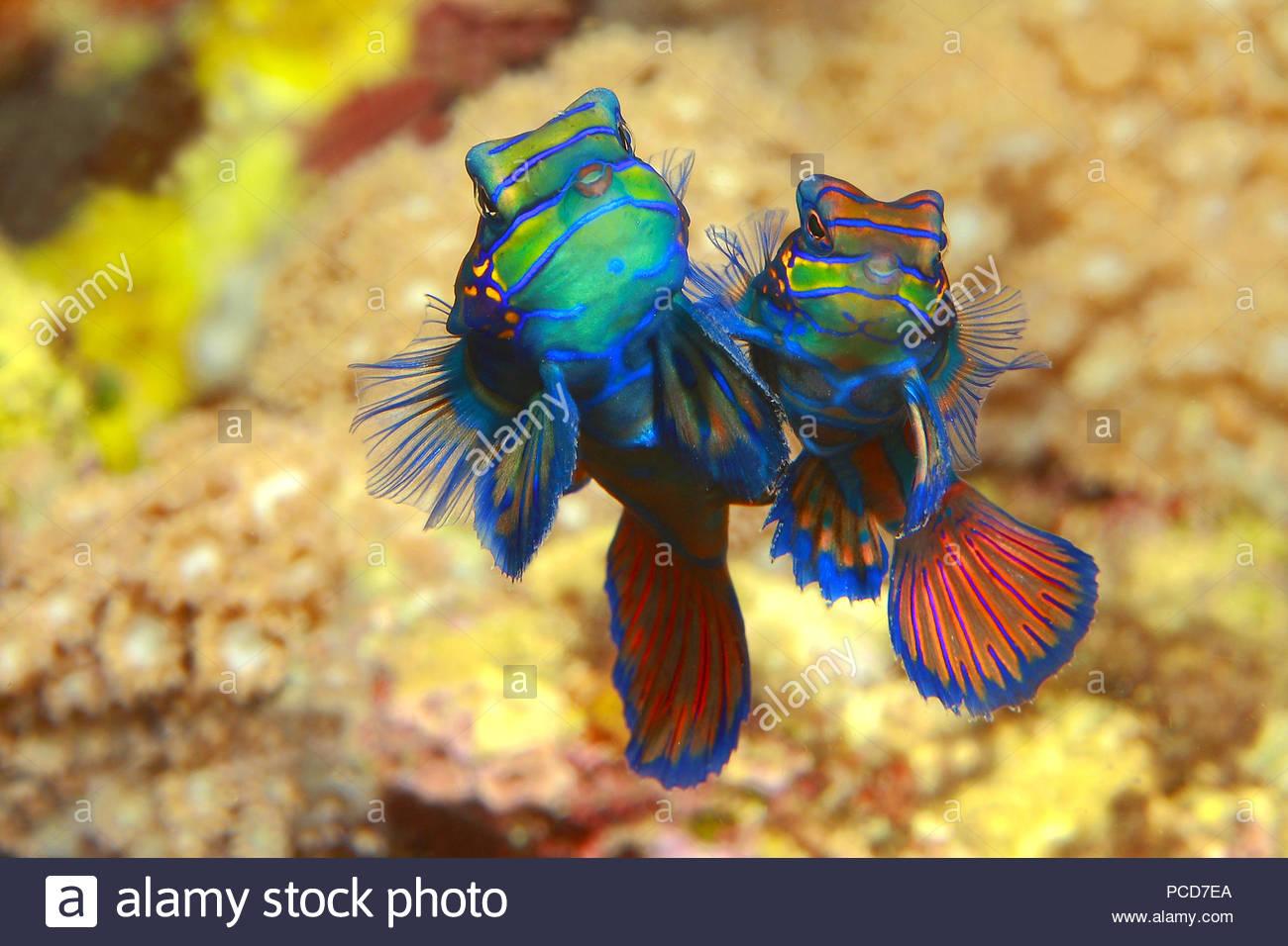 Mandarinfishes or mandarin dragonets (Synchiropus splendidus), mating, inseminating, Sabang Beach, Mindoro, Philippines Stock Photo